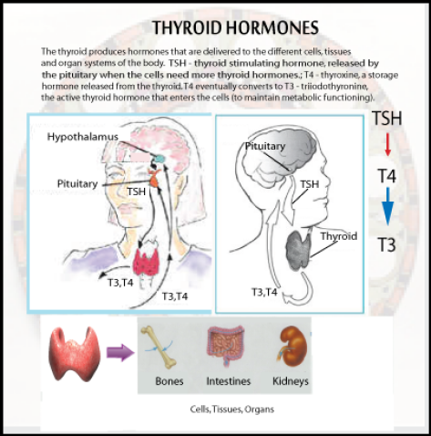 my-thyroid-chart